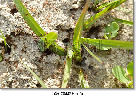 Free Art Print Of Fire Ants On Ant Bed Closeup Of A Fire Ant Hill