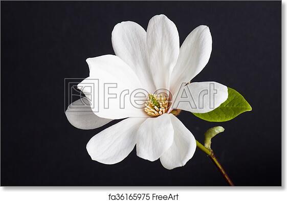 Free Art Print Of White Magnolia Flower Close Up White Magnolia