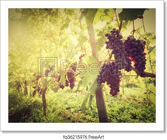 Free art print of Ripe wine grapes on vines in Tuscany vineyard, Italy