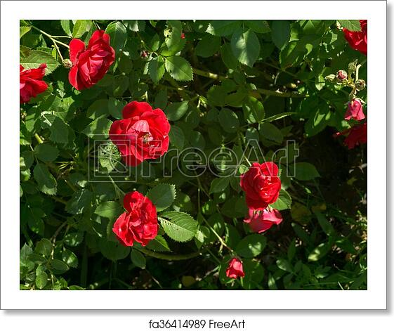 Free Art Print Of Red Climbing Rose Red Roses Climb A Rose Arbor