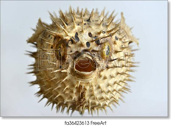 Free art print of puffer fish skeleton dried and for Puffer fish art