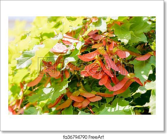 Free Art Print Of Acer Circinatum Samara Close Up Detail Of Maple