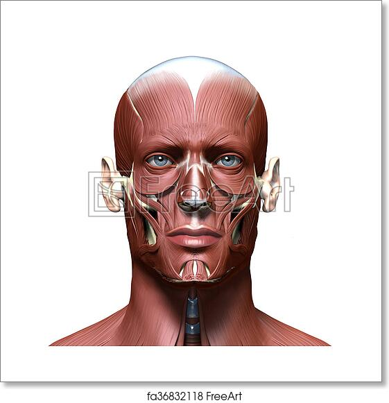 Free art print of Anatomy 3d head model with face muscles | FreeArt ...