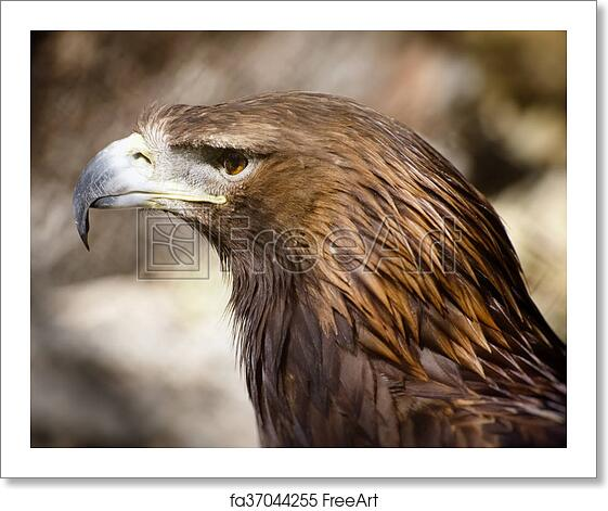 Photo Of The Tawny Eagle Aquila Rapax