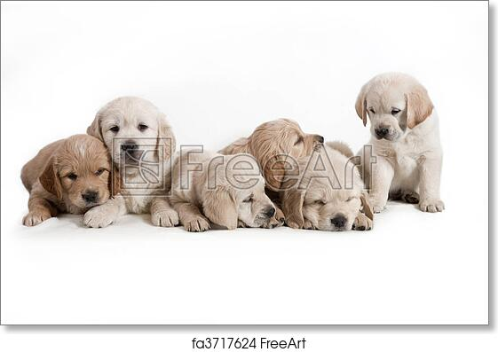 Free Art Print Of Dog Golden Retriever Puppies