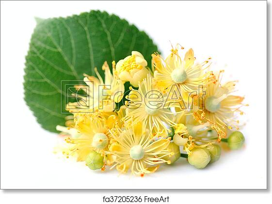 Free art print of Linden flowers. Linden flowers on a white background | FreeArt | fa37205236