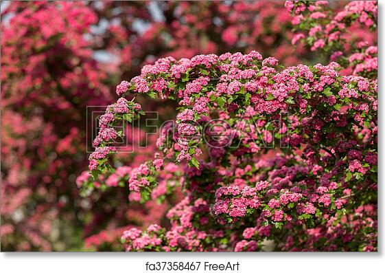 Free art print of flowers pink hawthorn tree pink hawthorn flowers free art print of flowers pink hawthorn tree pink hawthorn mightylinksfo