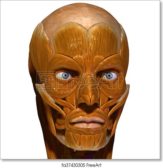 Free art print of Face muscles. The facial muscles are a group of ...