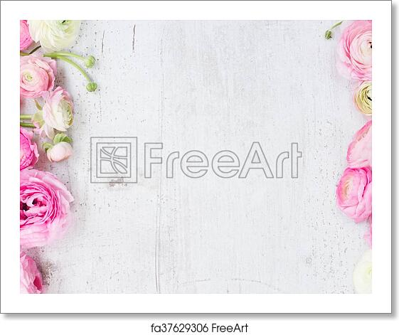 Free Art Print Of Pink And White Ranunculus Flowers Pink And White