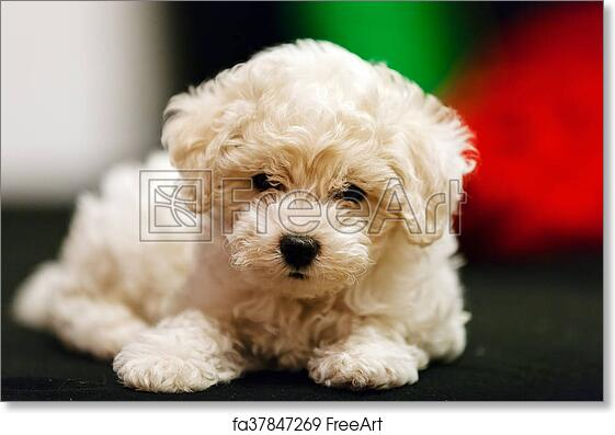 Free art print of Bichon frise puppy