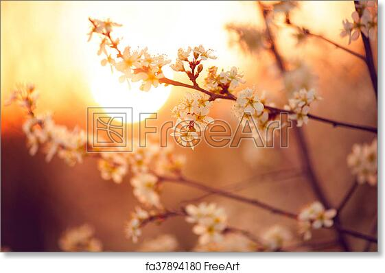 Free Art Print Of Spring Blossom Background Beautiful Nature Scene With Blooming Tree And Sun Flare