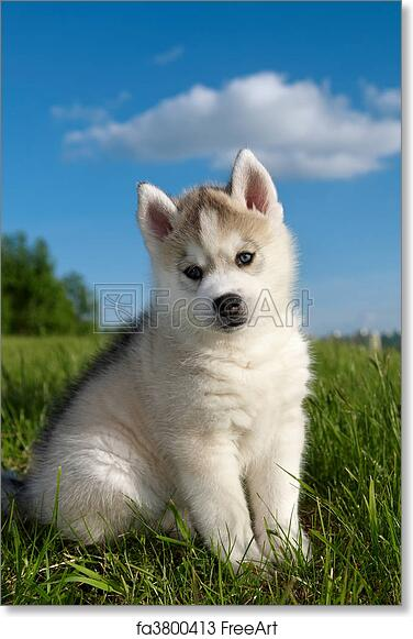 Free Art Print Of Siberian Husky Dog Puppy One Little Cute Puppy Of