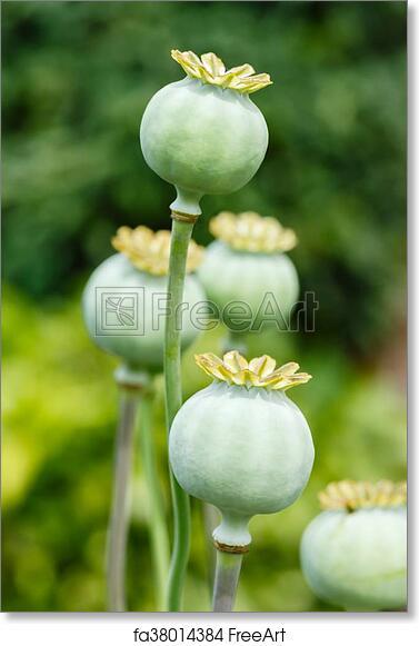Free art print of poppy seed pods macro of green poppy free art print of poppy seed pods mightylinksfo