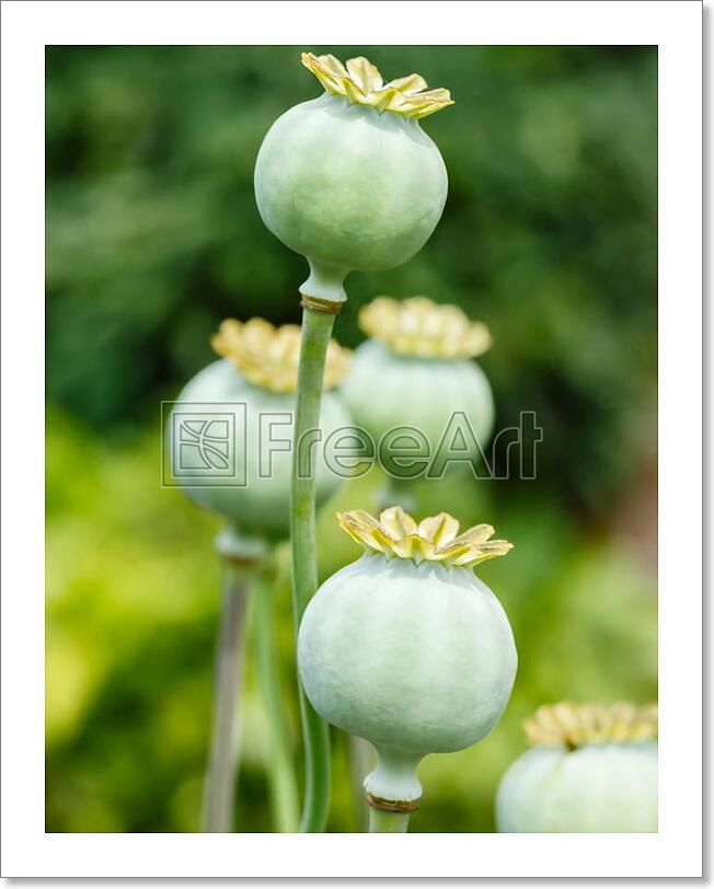 Poppy Seed Pods Art Print Home Decor Wall Art Poster C Ebay