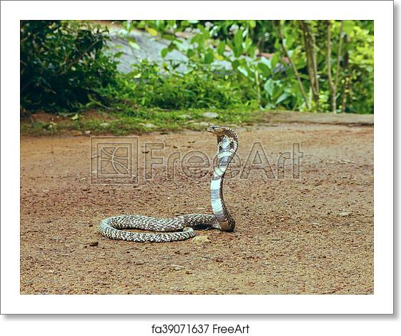 Free art print of King Cobra Ophiophagus hannah