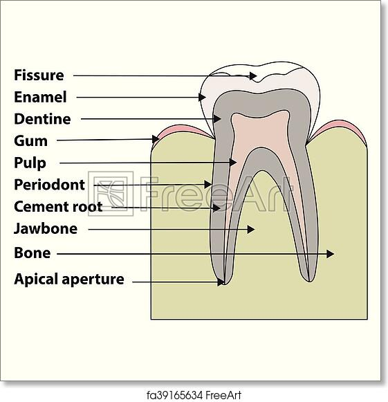 Free Art Print Of Structure Tooth Anatomical Structure Of The Tooth