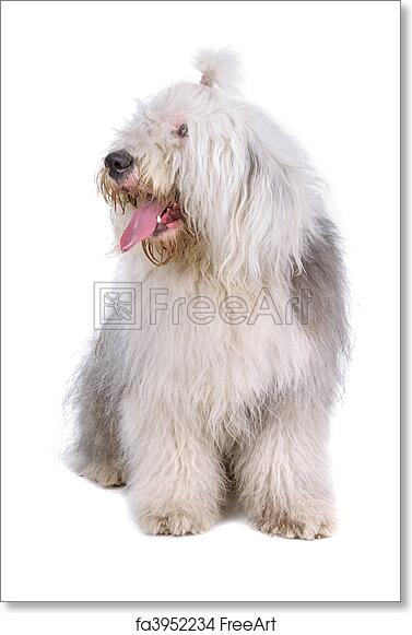 Free art print of Old english sheepdog, bobtail
