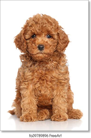 Free art print of Miniature Poodle Puppy