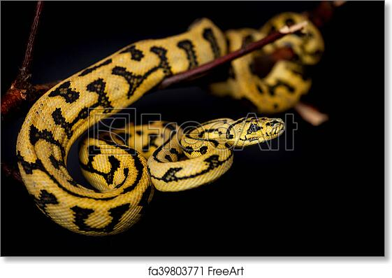 Free art print of Jungle Jaguar Carpet Python on black. Jungle Jaguar Carpet Python, Morelia spilota cheynei, on black background   FreeArt   fa39803771