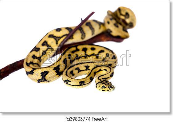 Free art print of Jungle Jaguar Carpet Python on white. Jungle Jaguar Carpet Python, Morelia spilota cheynei, isolated on white background   FreeArt   ...