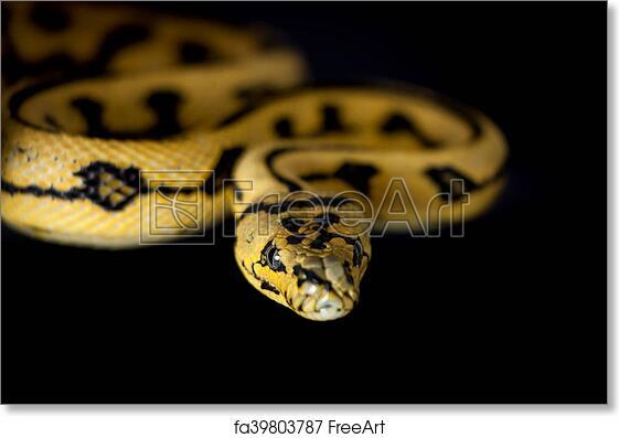 Free art print of Jungle Jaguar Carpet Python on black. Jungle Jaguar Carpet Python, Morelia spilota cheynei, on black background   FreeArt   fa39803787