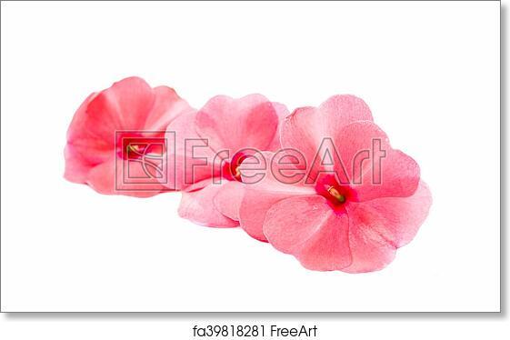Free art print of Vinca rosea Flower Catharanthus roseus Madagascar ...