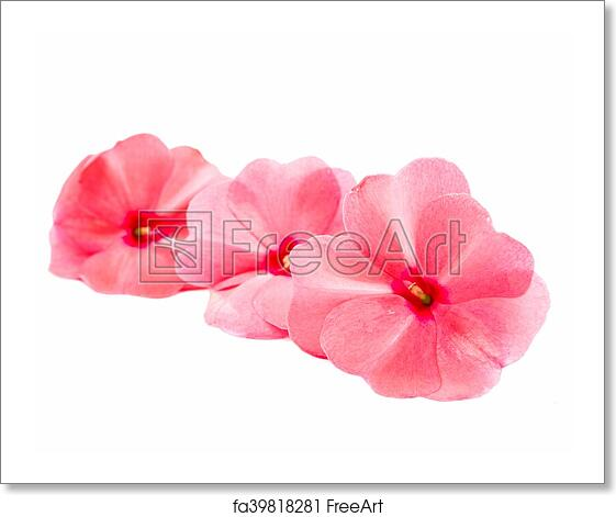 Free art print of Vinca rosea Flower Catharanthus roseus Madagascar  periwinkle