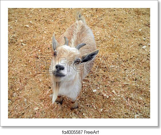 Free Art Print Of Baby Goat At Petting Zoo