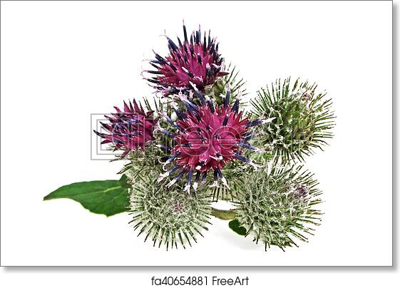 Free art print of thistle flower isolated on white background free art print of thistle flower isolated on white background mightylinksfo
