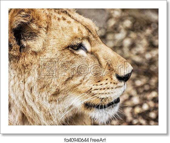 Free Art Print Of Barbary Lioness Portrait Panthera Leo Leo Side