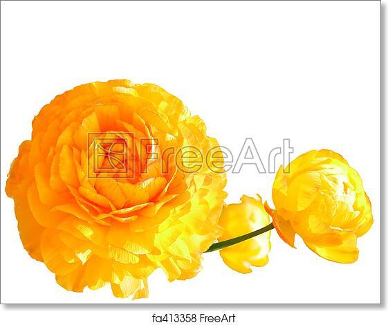 Free art print of yellow poppy flowers three full bloom yellow free art print of yellow poppy flowers mightylinksfo