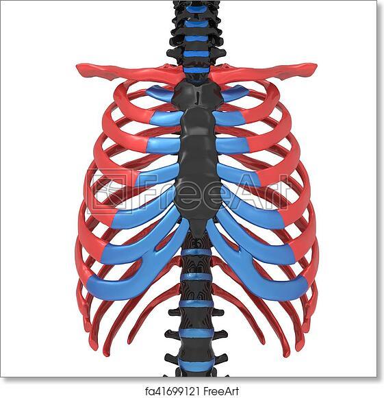 Free Art Print Of 3d Illustration Of Human Body Ribs Cage Anatomy