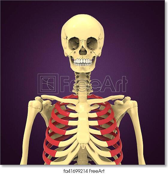Free art print of 3d illustration of human body ribs cage anatomy ...
