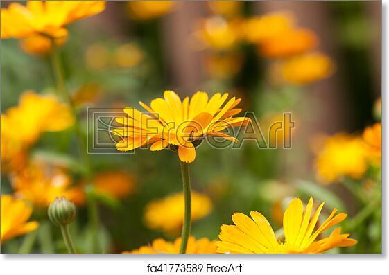 Free art print of orange flowers of calendula photographed close up free art print of orange flowers of calendula mightylinksfo