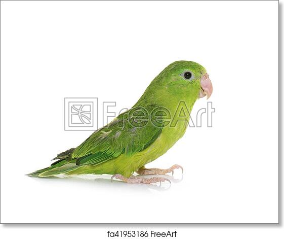 Free Art Print Of Pacific Parrotlet In Studio Pacific Parrotlet In