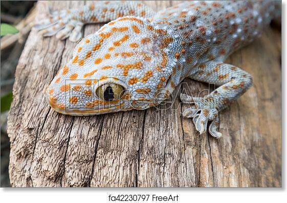 free art print of tokay gecko on wood in the garden freeart