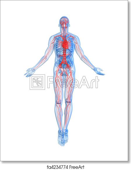 Free art print of Highlighted vascular system . 3d rendered ...
