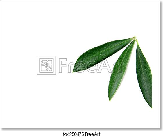 Free Art Print Of Olive Tree Leaves Some Olive Tree Leaves Isolated