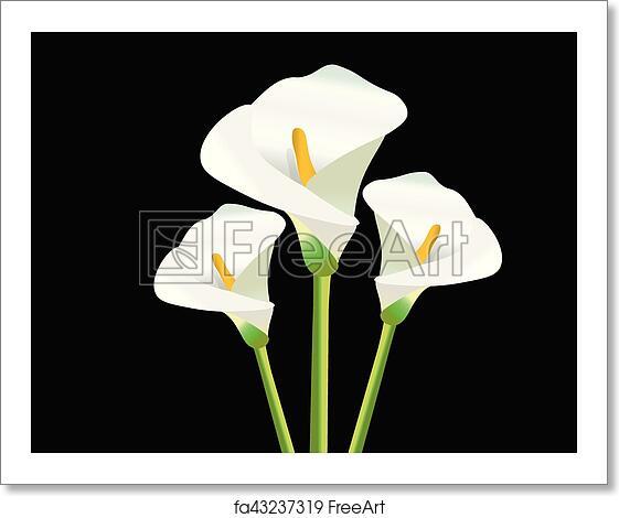 Free Art Print Of White Calla Lily Flowers White Calla Lily