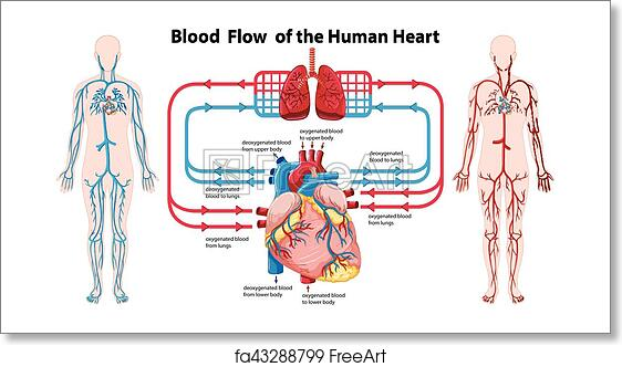Free art print of Diagram showing blood flow of the human ...