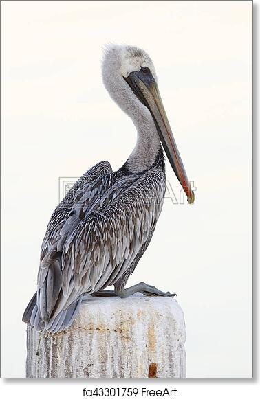 Free art print of Immature Brown Pelican perched on a dock piling - Florida