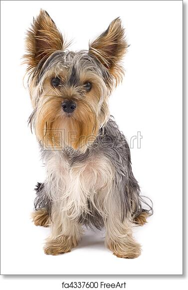Free Art Print Of Yorkie Puppy Yorkie Puppy Isolated On White With