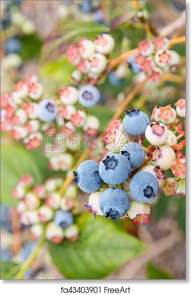 Blueberries Bush Pictures