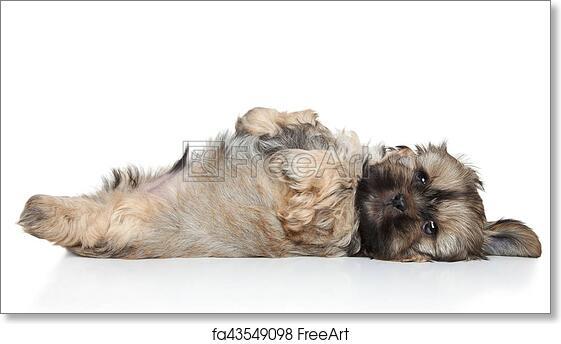 Free Art Print Of Shih Tzu Puppy Resting Shih Tzu Puppy Resting On