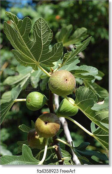 Free Art Print Of Fig Tree Ficus Carica Fruits Freeart Fa4358923