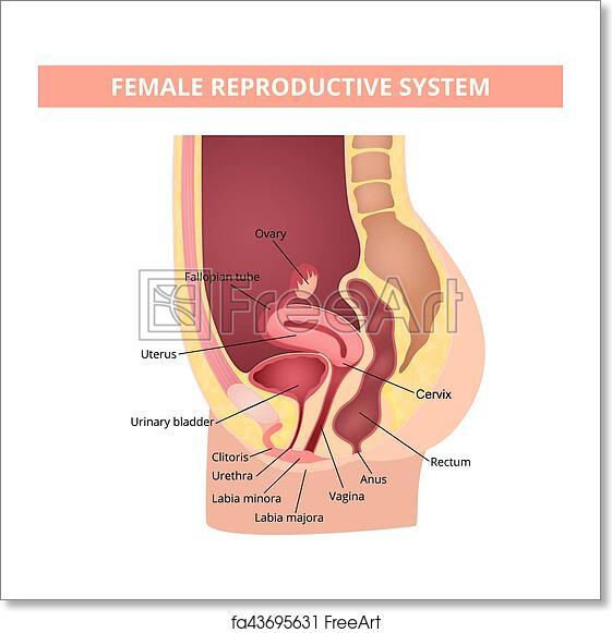 Free Art Print Of Reproductive System Female Internal Genital
