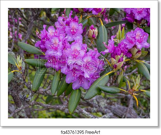 Free Art Print Of Rhododendron Flowers Bloom In Late Spring