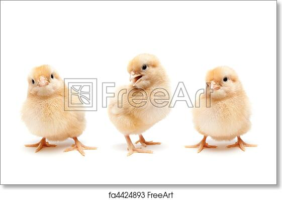Free Art Print Of Three Cute Baby Chickens Chicks Three Young