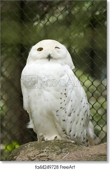 free art print of wink of the snowy owl freeart fa44249728