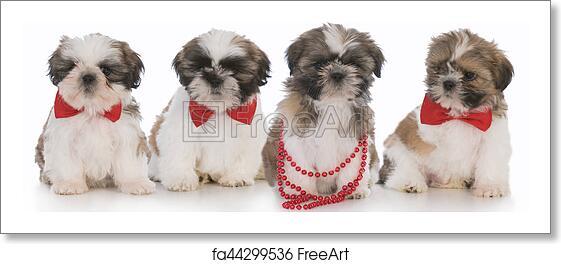 Free Art Print Of Litter Of Puppies Litter Of Shih Tzu Puppies On
